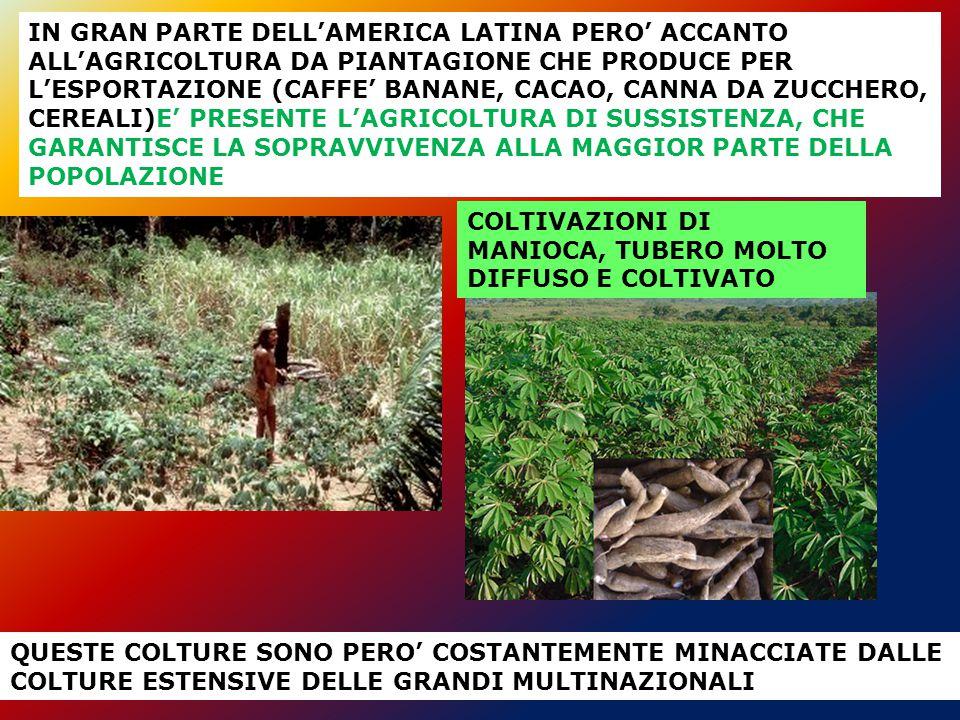 IN GRAN PARTE DELL'AMERICA LATINA PERO' ACCANTO ALL'AGRICOLTURA DA PIANTAGIONE CHE PRODUCE PER L'ESPORTAZIONE (CAFFE' BANANE, CACAO, CANNA DA ZUCCHERO, CEREALI)E' PRESENTE L'AGRICOLTURA DI SUSSISTENZA, CHE GARANTISCE LA SOPRAVVIVENZA ALLA MAGGIOR PARTE DELLA POPOLAZIONE QUESTE COLTURE SONO PERO' COSTANTEMENTE MINACCIATE DALLE COLTURE ESTENSIVE DELLE GRANDI MULTINAZIONALI COLTIVAZIONI DI MANIOCA, TUBERO MOLTO DIFFUSO E COLTIVATO