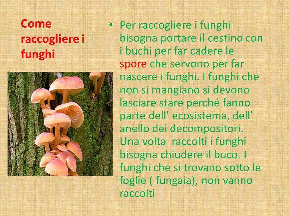 Come raccogliere i funghi Per raccogliere i funghi bisogna portare il cestino con i buchi per far cadere le spore che servono per far nascere i funghi