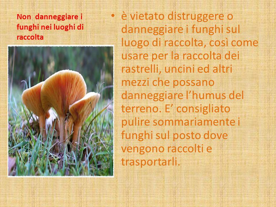 Non danneggiare i funghi nei luoghi di raccolta è vietato distruggere o danneggiare i funghi sul luogo di raccolta, così come usare per la raccolta de