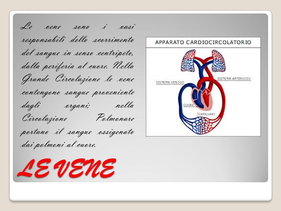 LE VENE Le vene sono i vasi responsabili dello scorrimento del sangue in senso centripeto, dalla periferia al cuore. Nella Grande Circolazione le vene