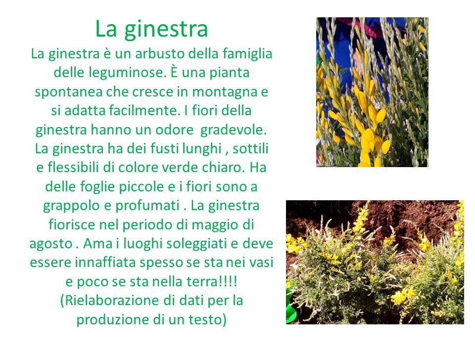 La ginestra La ginestra è un arbusto della famiglia delle leguminose.