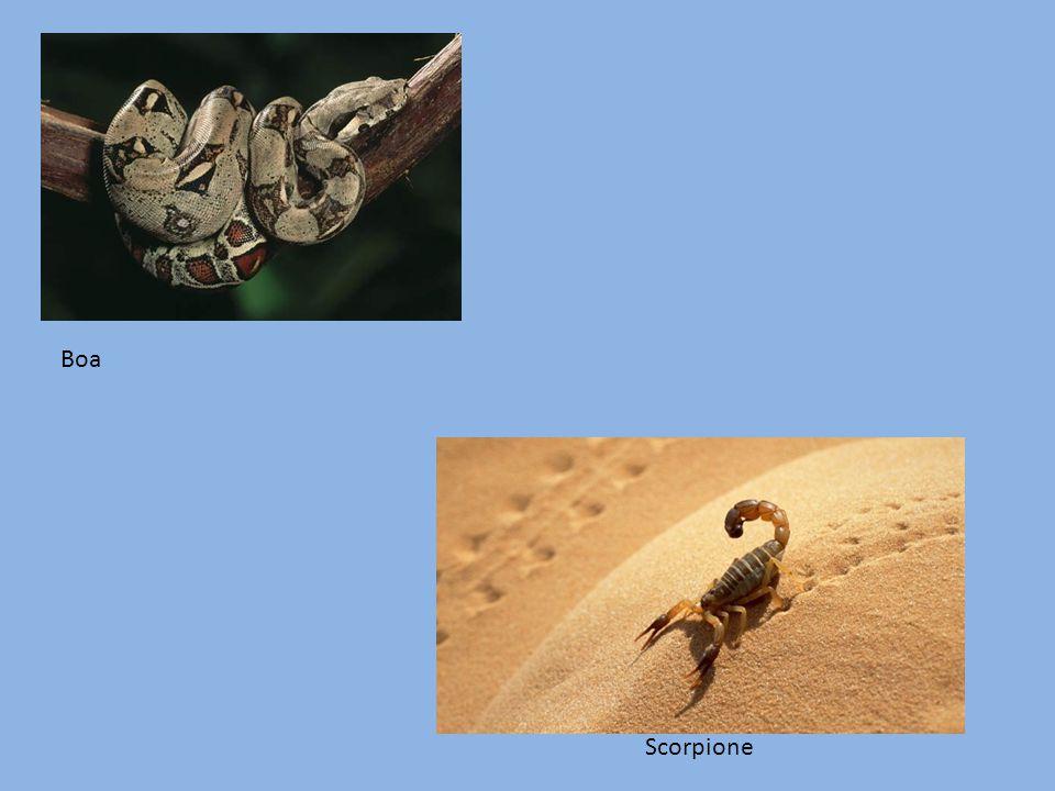 Boa Scorpione