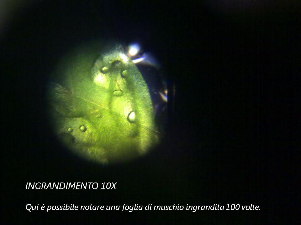INGRANDIMENTO 10X Qui è possibile notare una foglia di muschio ingrandita 100 volte.