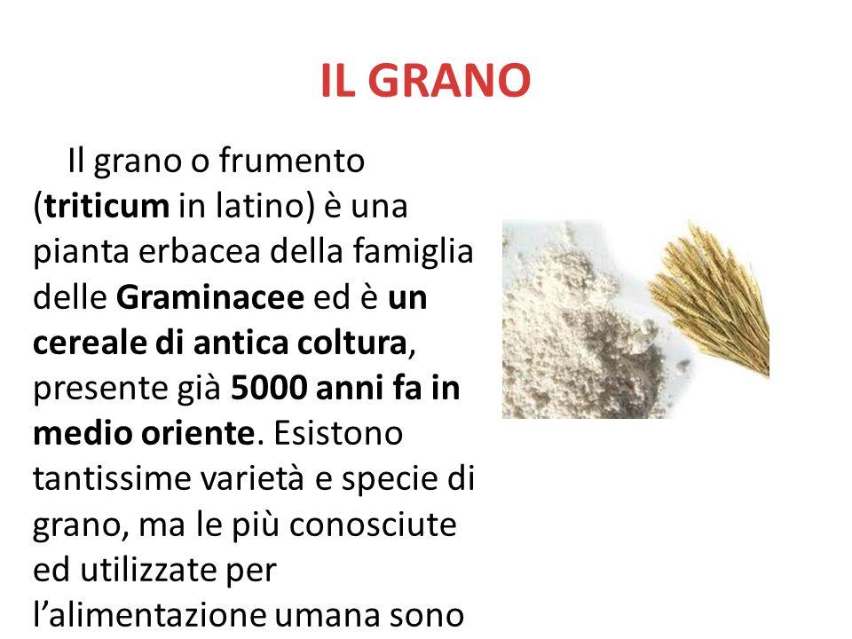 IL GRANO Il grano o frumento (triticum in latino) è una pianta erbacea della famiglia delle Graminacee ed è un cereale di antica coltura, presente già