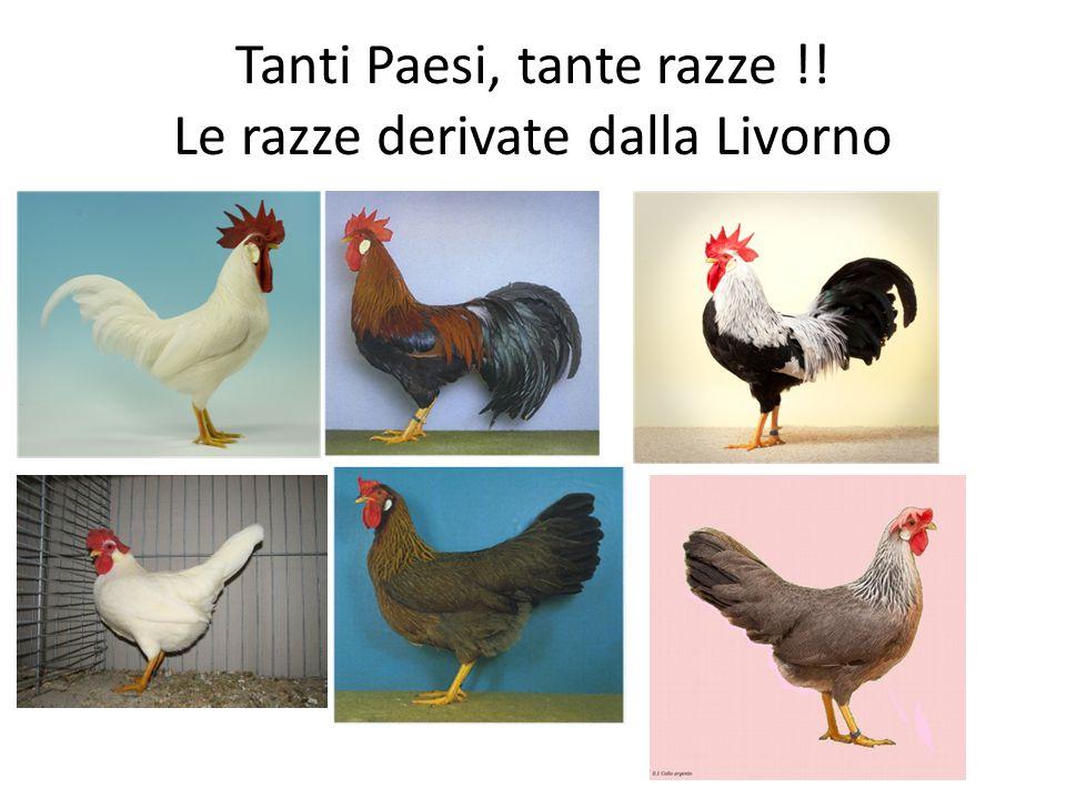 Tanti Paesi, tante razze !! Le razze derivate dalla Livorno