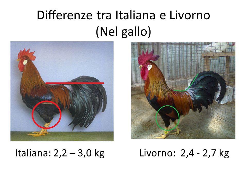 Differenze tra Italiana e Livorno (Nel gallo) Italiana: 2,2 – 3,0 kg Livorno: 2,4 - 2,7 kg