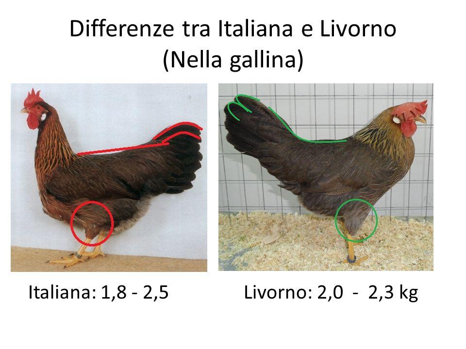Differenze tra Italiana e Livorno (Nella gallina) Italiana: 1,8 - 2,5 Livorno: 2,0 - 2,3 kg