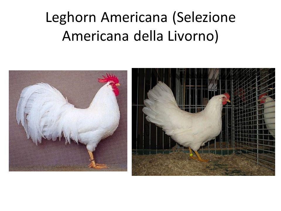 Leghorn Americana (Selezione Americana della Livorno)