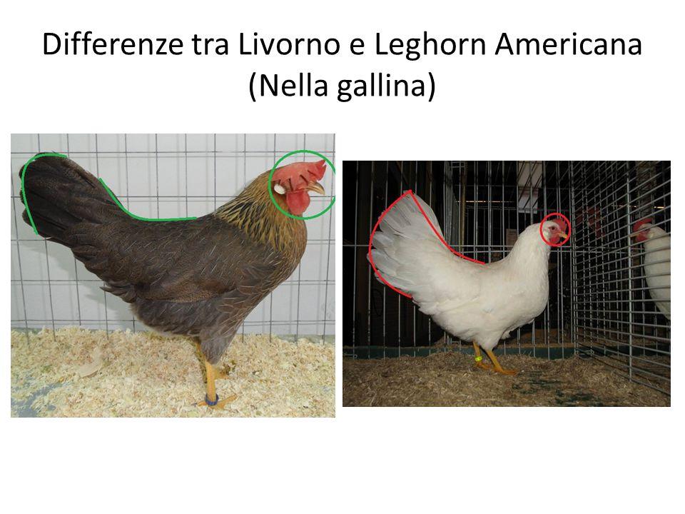 Differenze tra Livorno e Leghorn Americana (Nella gallina)