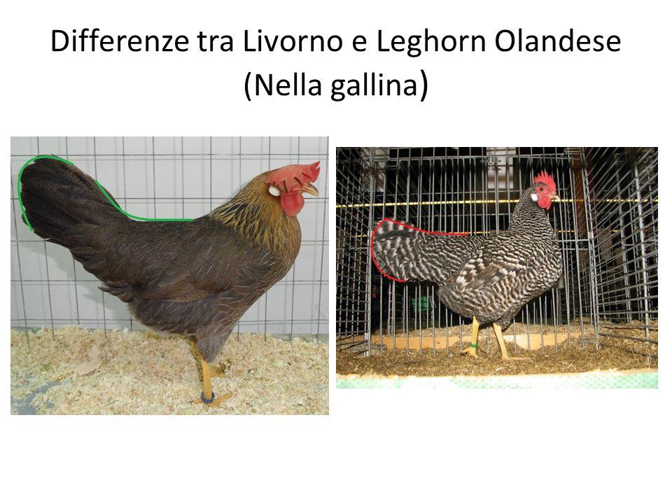 Differenze tra Livorno e Leghorn Olandese (Nella gallina )