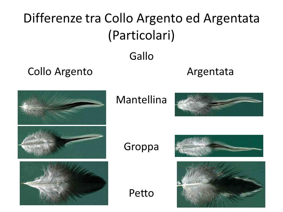 Differenze tra Collo Argento ed Argentata (Particolari) Gallo Collo ArgentoArgentata Mantellina Groppa Petto