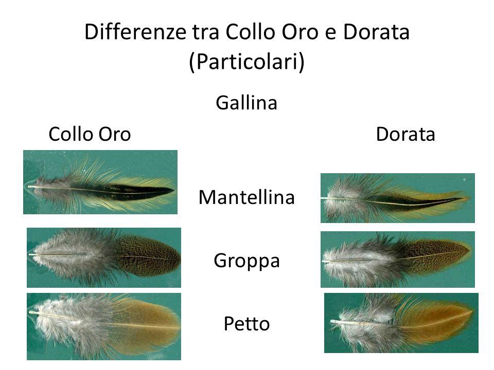 Differenze tra Collo Oro e Dorata (Particolari) Gallina Collo OroDorata Mantellina Groppa Petto