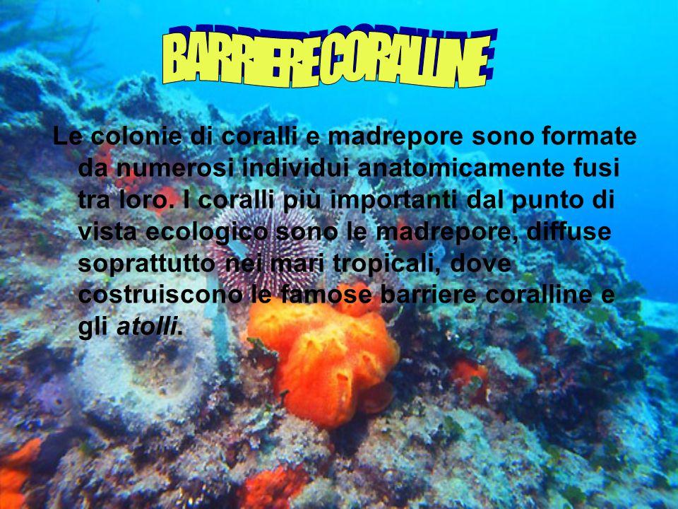 Le colonie di coralli e madrepore sono formate da numerosi individui anatomicamente fusi tra loro.