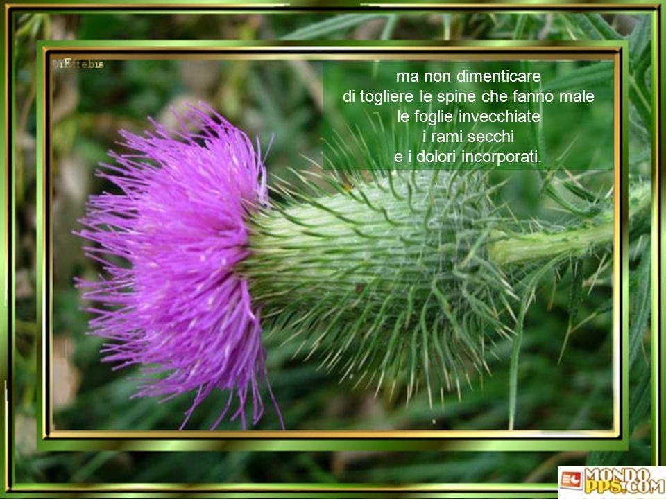 ma non dimenticare di togliere le spine che fanno male le foglie invecchiate i rami secchi e i dolori incorporati.