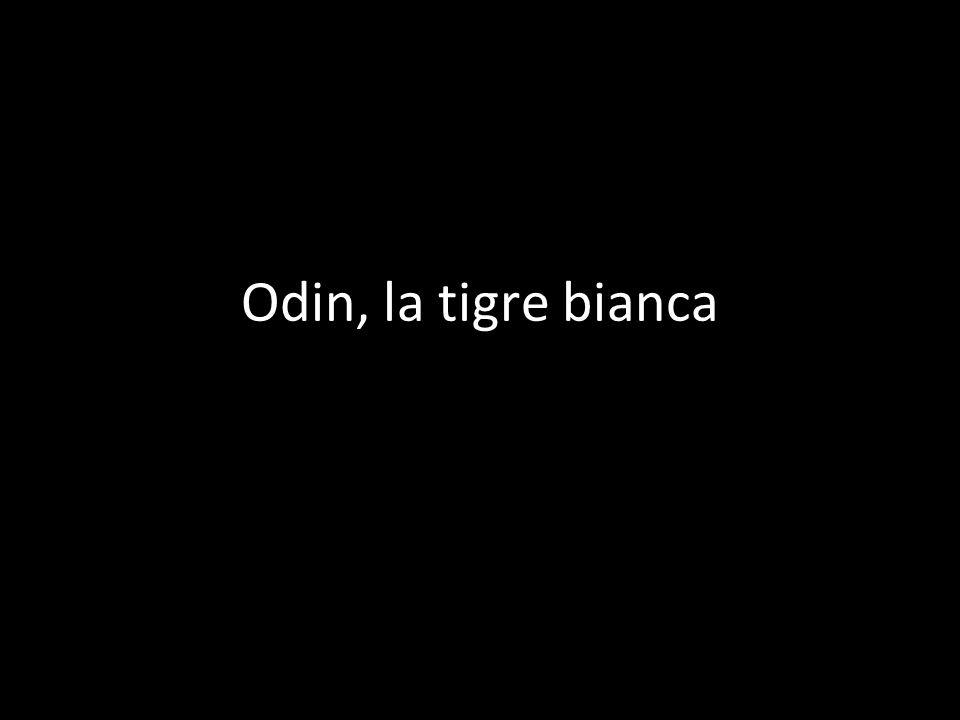 Odin, la tigre bianca di Lorenzo