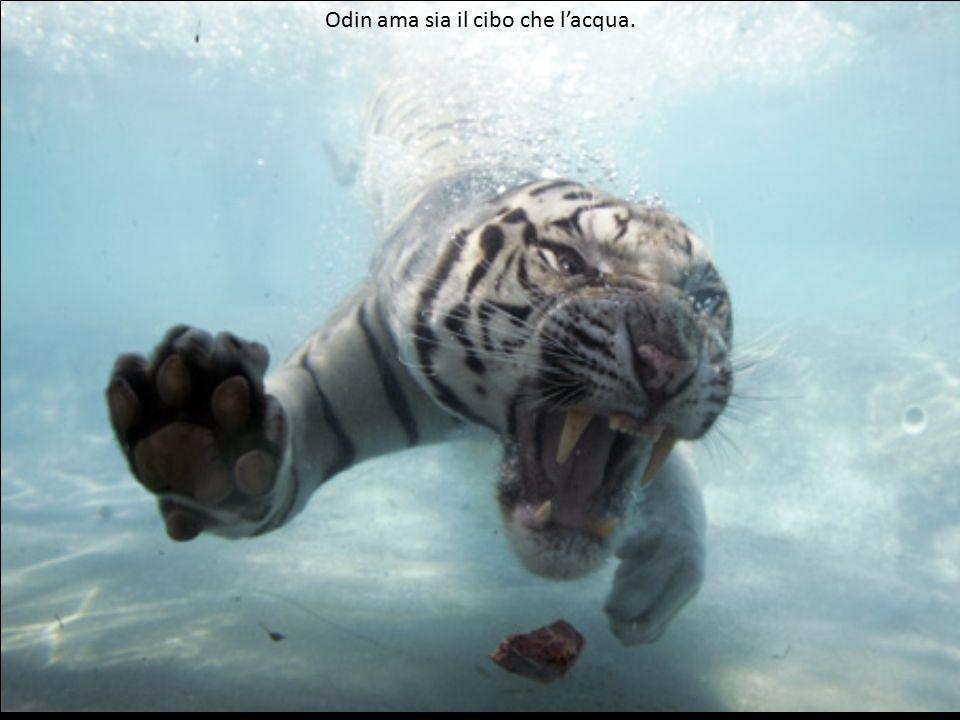 Le tigri bianche sono rare. Devono il loro colore ad una inusuale ed estremamente rara combinazione genetica