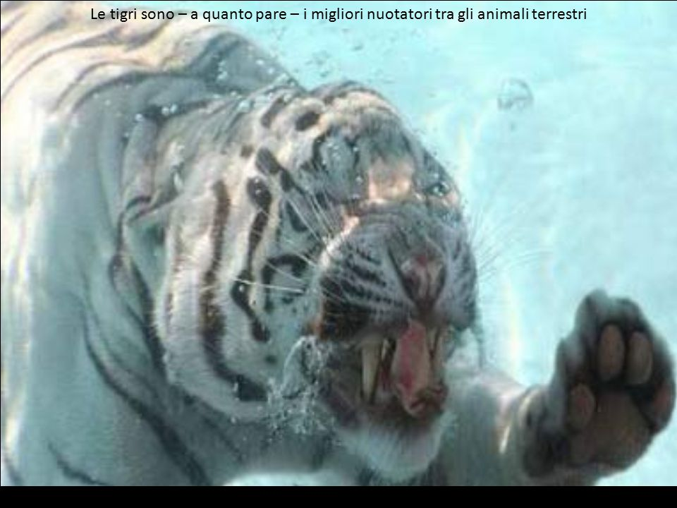 Non tutte le tigri si butterebbero così facilmente in acqua per un pezzetto di carne