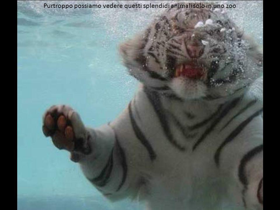 Le tigri sono – a quanto pare – i migliori nuotatori tra gli animali terrestri