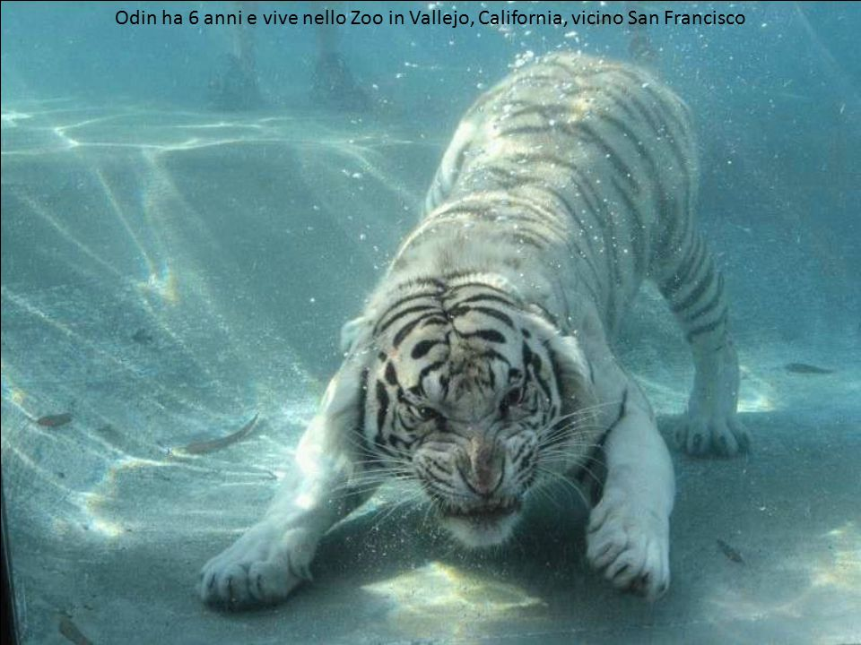 Tigre bianca del Bengali di nome Odin