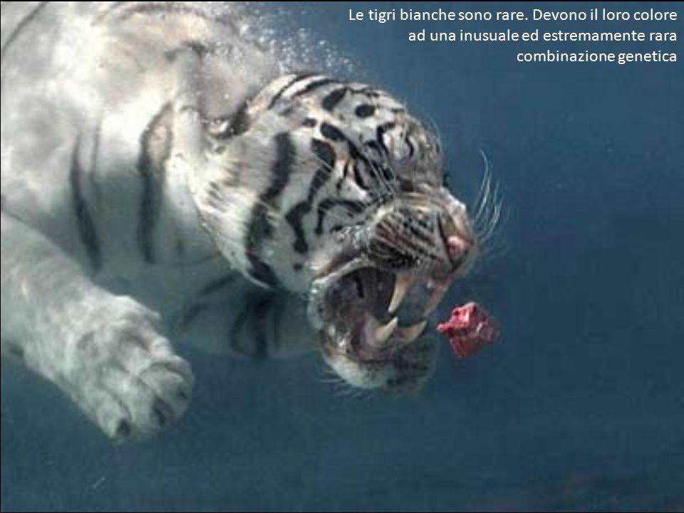 Le tigri bianche sono rare.