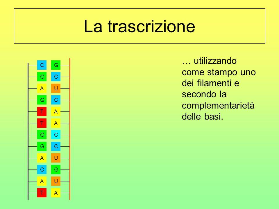 La trascrizione … utilizzando come stampo uno dei filamenti e secondo la complementarietà delle basi. GCUCAACCUGUA A G T T G G A C T A C G