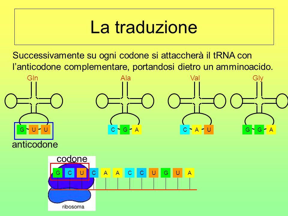 La traduzione La fase di traduzione ha inizio quando l'RNA messaggero si attacca al ribosoma. GCUCAACCUGUA CGA Ala UGU Gln AGG Gly UCA Val codone anti