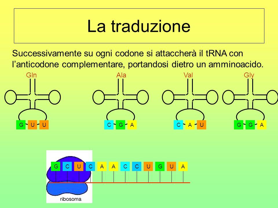 La traduzione La fase di traduzione ha inizio quando l'RNA messaggero si attacca al ribosoma. GCUCAACCUGUA CGA Ala UGU Gln AGG Gly UCA Val Successivam