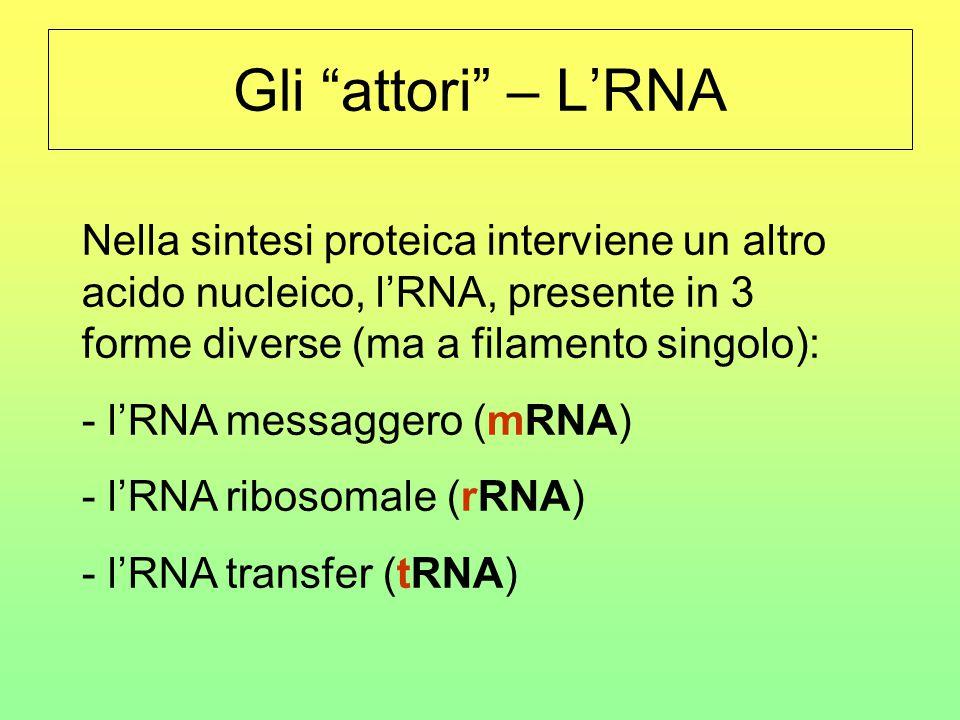 """Gli """"attori"""" – L'RNA Nella sintesi proteica interviene un altro acido nucleico, l'RNA, presente in 3 forme diverse (ma a filamento singolo): - l'RNA m"""