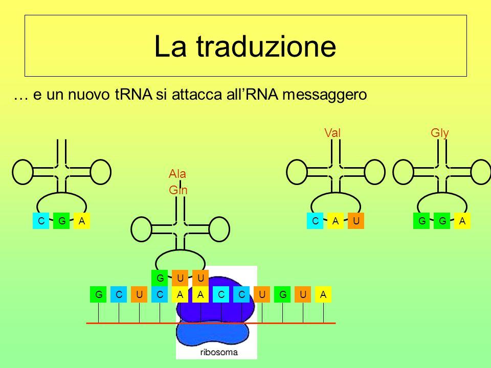 La traduzione GCUCAACCUGUA CGA Ala UGU Gln AGG Gly UCA Val … e un nuovo tRNA si attacca all'RNA messaggero