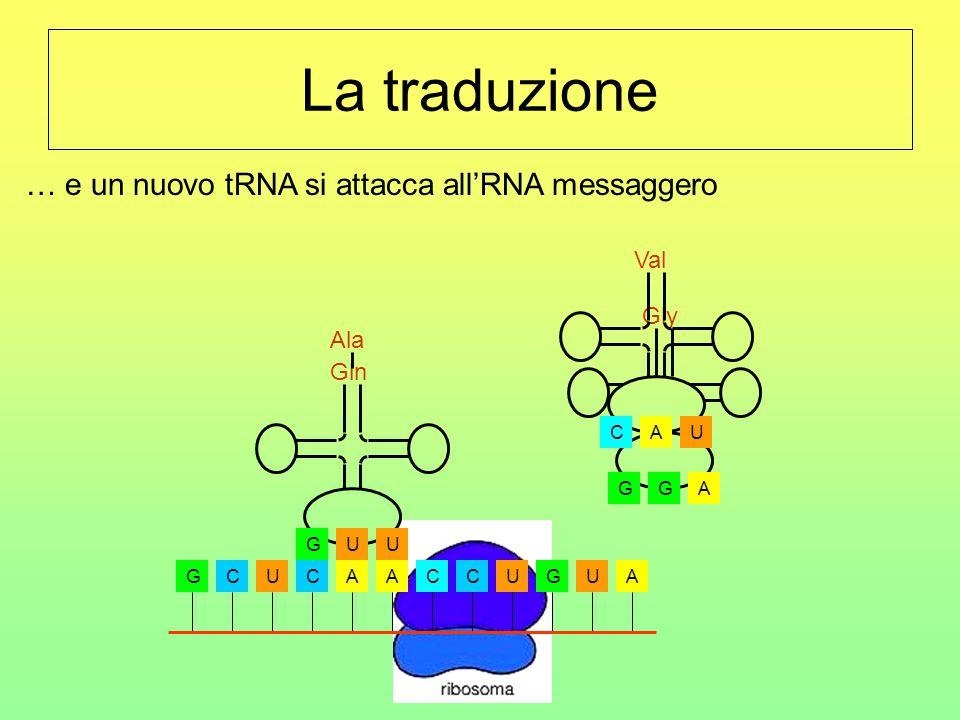 La traduzione GCUCAACCUGUA Ala UGU Gln AGG Gly UCA Val … e un nuovo tRNA si attacca all'RNA messaggero