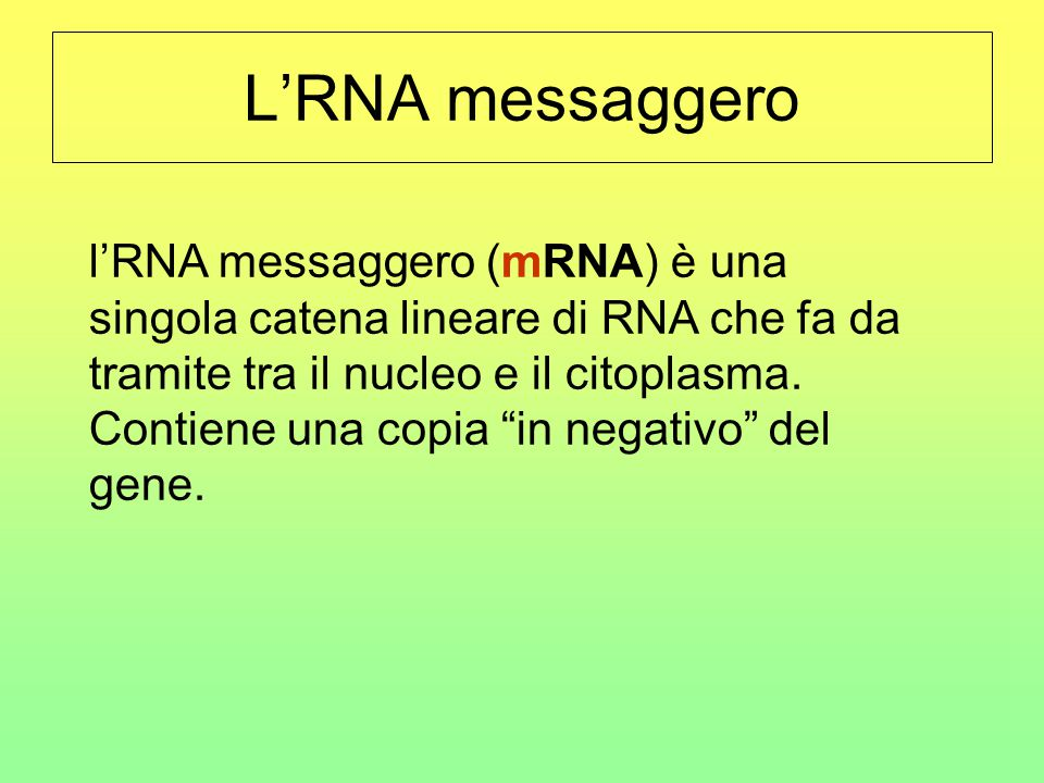 """L'RNA messaggero l'RNA messaggero (mRNA) è una singola catena lineare di RNA che fa da tramite tra il nucleo e il citoplasma. Contiene una copia """"in n"""