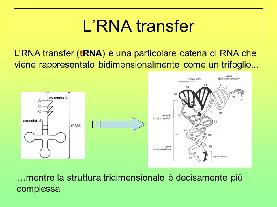 L'RNA transfer L'RNA transfer (tRNA) è una particolare catena di RNA che viene rappresentato bidimensionalmente come un trifoglio... …mentre la strutt