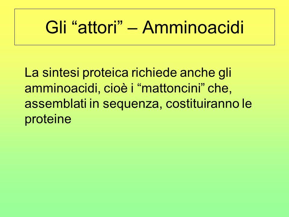 """Gli """"attori"""" – Amminoacidi La sintesi proteica richiede anche gli amminoacidi, cioè i """"mattoncini"""" che, assemblati in sequenza, costituiranno le prote"""