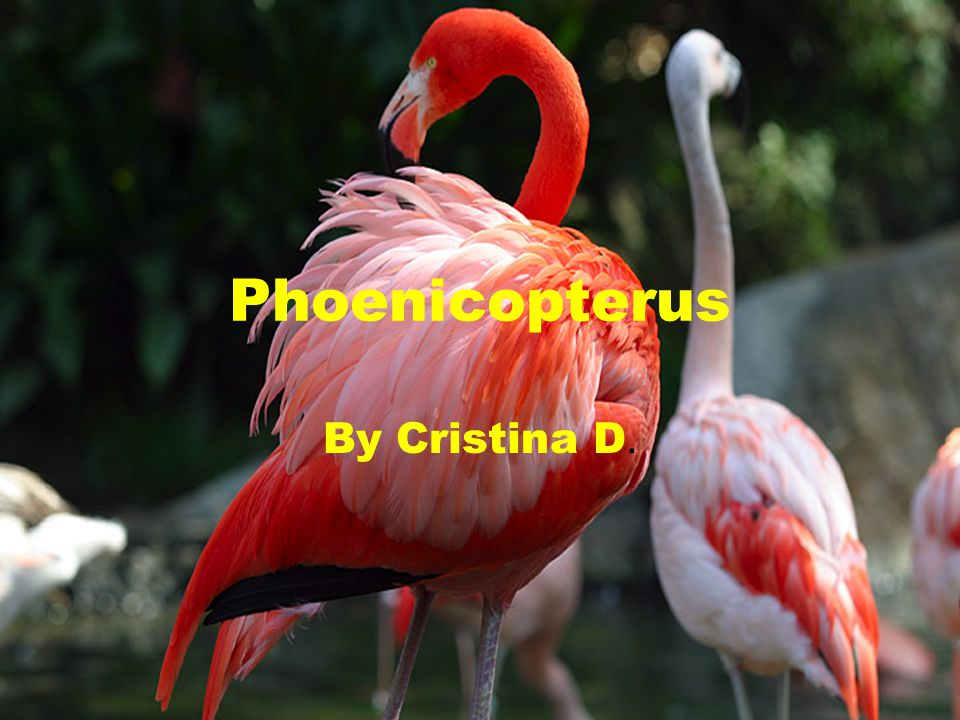 Phoenicopterus By Cristina D.