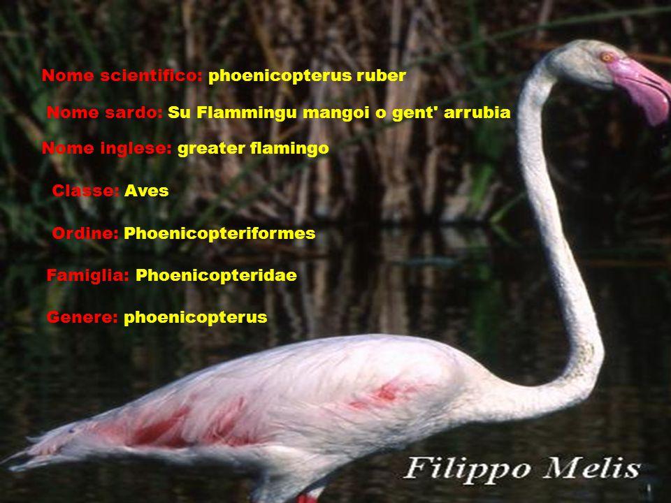 Nome scientifico: phoenicopterus ruber Nome sardo: Su Flammingu mangoi o gent arrubia Nome inglese: greater flamingo Classe: Aves Ordine: Phoenicopteriformes Famiglia: Phoenicopteridae Genere: phoenicopterus