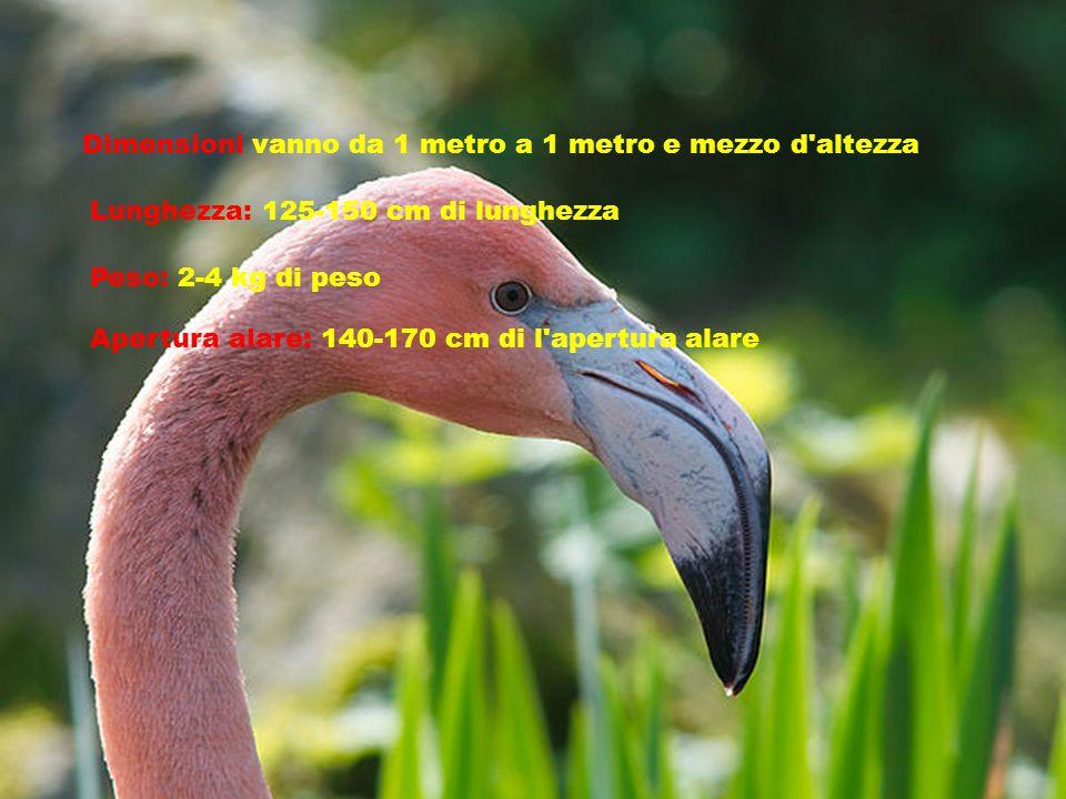 Dimensioni vanno da 1 metro a 1 metro e mezzo d altezza Lunghezza: 125-150 cm di lunghezza Peso: 2-4 kg di peso Apertura alare: 140-170 cm di l apertura alare