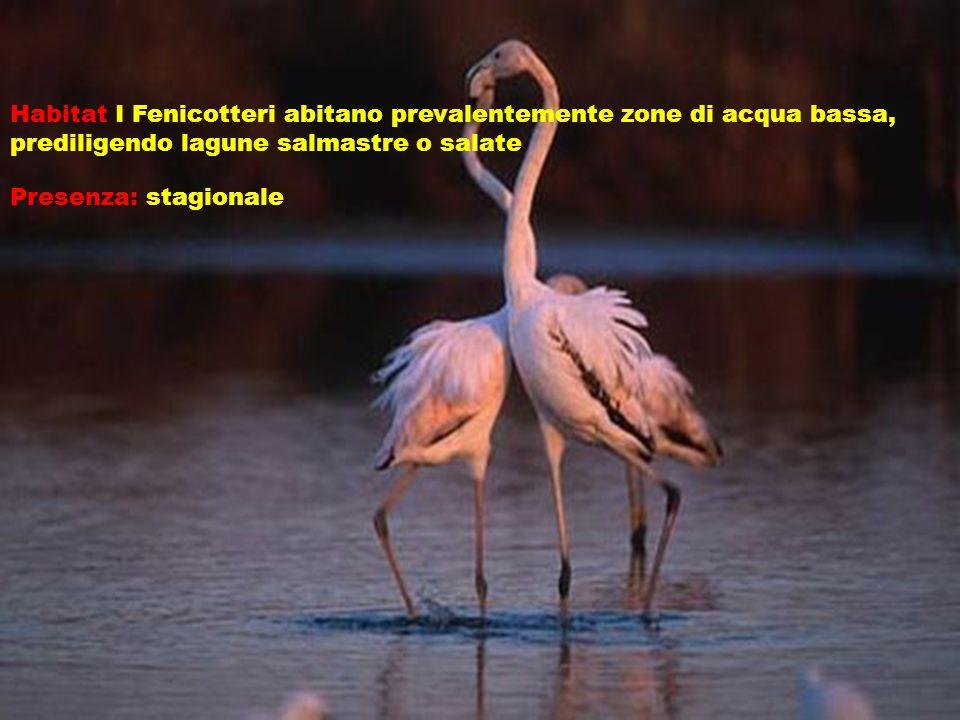 Habitat I Fenicotteri abitano prevalentemente zone di acqua bassa, prediligendo lagune salmastre o salate Presenza: stagionale