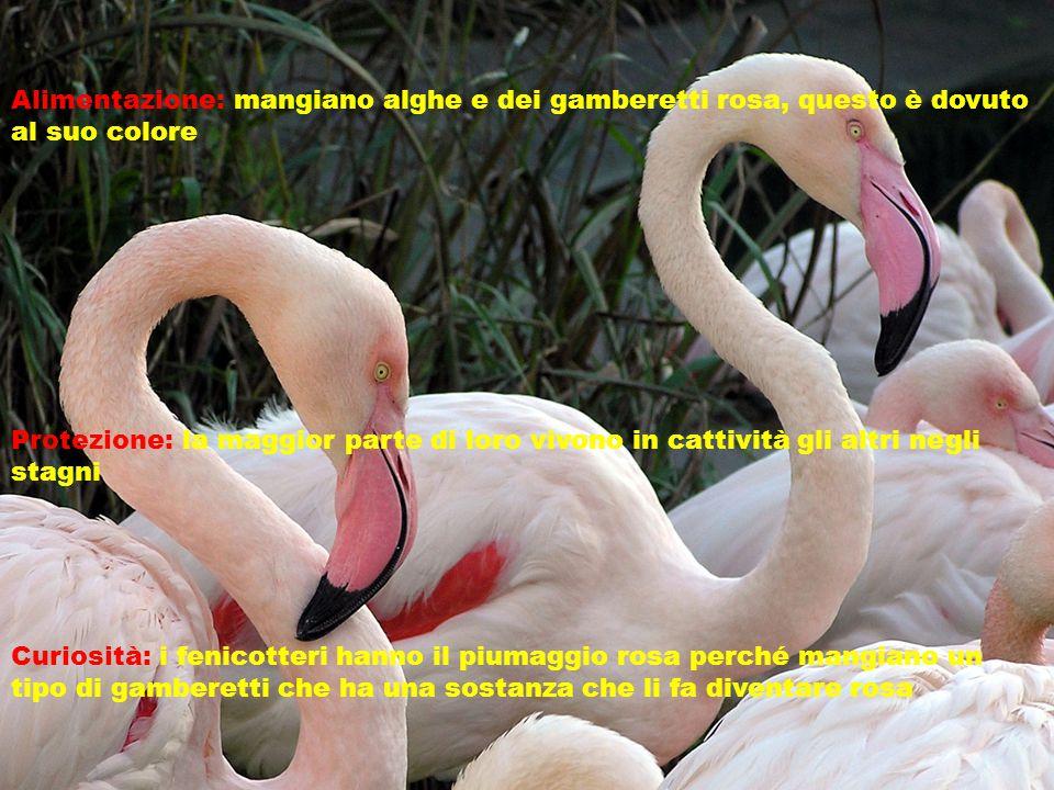 Alimentazione: mangiano alghe e dei gamberetti rosa, questo è dovuto al suo colore Protezione: la maggior parte di loro vivono in cattività gli altri negli stagni Curiosità: i fenicotteri hanno il piumaggio rosa perché mangiano un tipo di gamberetti che ha una sostanza che li fa diventare rosa