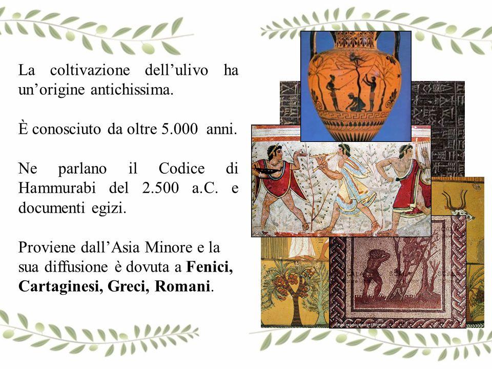 La coltivazione dell'ulivo ha un'origine antichissima. È conosciuto da oltre 5.000 anni. Ne parlano il Codice di Hammurabi del 2.500 a.C. e documenti