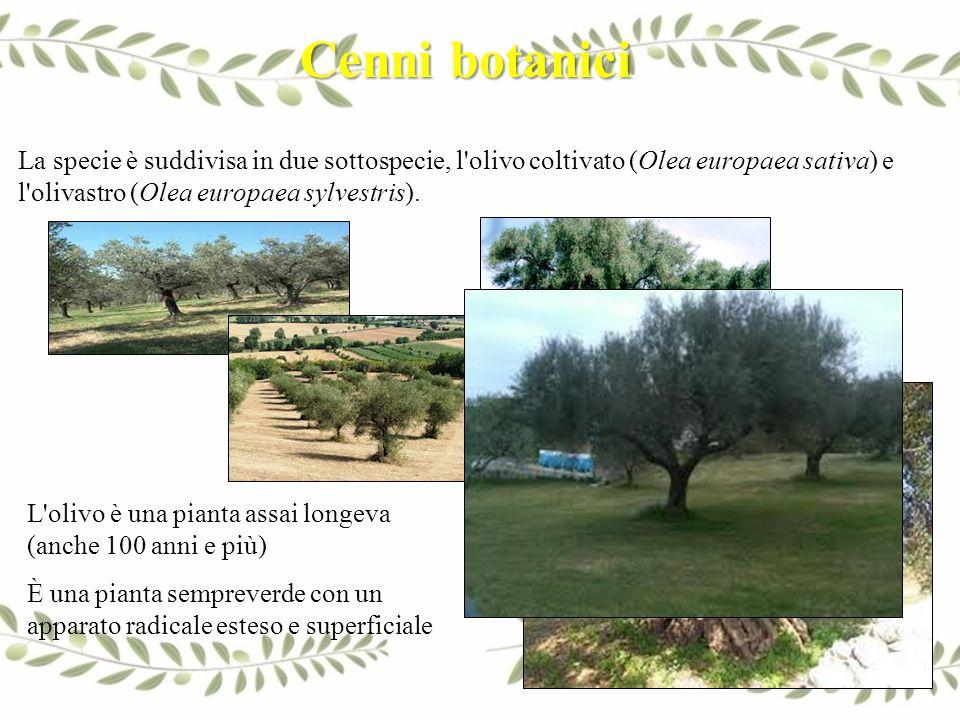 La specie è suddivisa in due sottospecie, l'olivo coltivato (Olea europaea sativa) e l'olivastro (Olea europaea sylvestris). L'olivo è una pianta assa