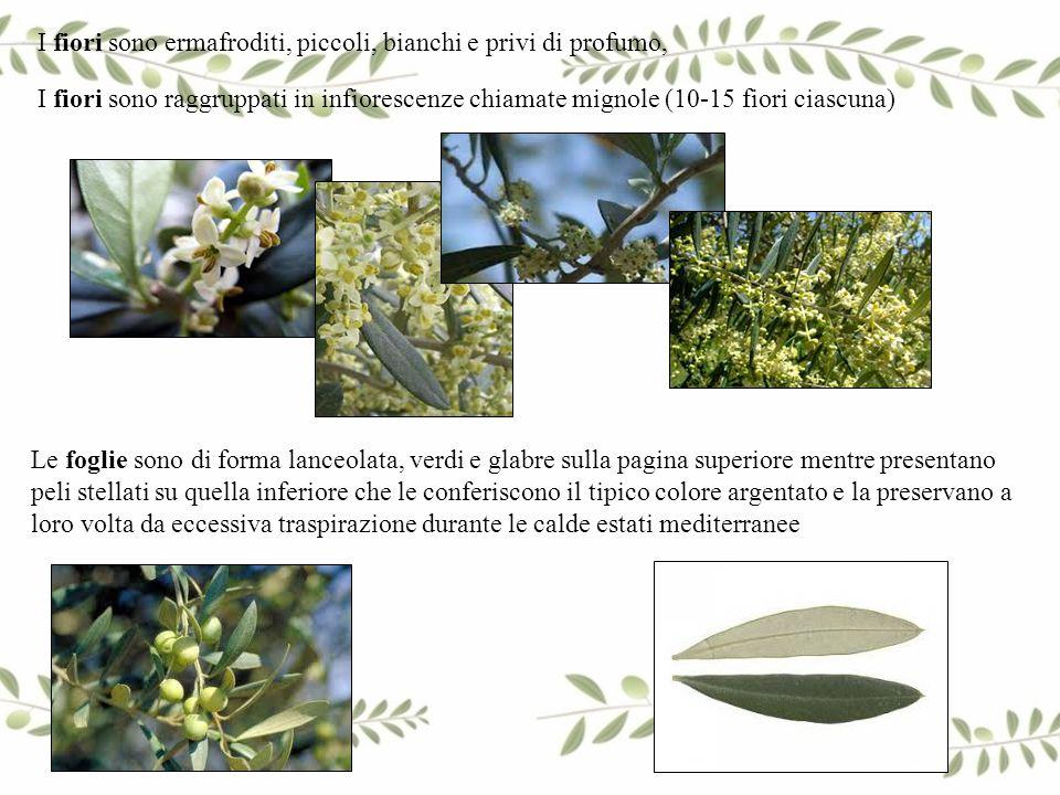 I fiori sono ermafroditi, piccoli, bianchi e privi di profumo, Le foglie sono di forma lanceolata, verdi e glabre sulla pagina superiore mentre presen