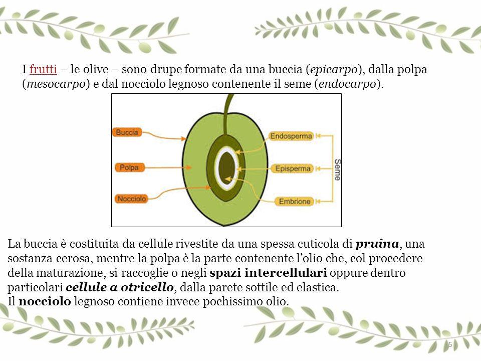 I frutti – le olive – sono drupe formate da una buccia (epicarpo), dalla polpa (mesocarpo) e dal nocciolo legnoso contenente il seme (endocarpo).frutt