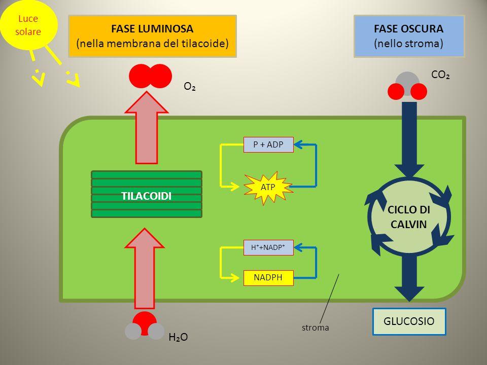 Luce solare P + ADP H⁺+NADP⁺ NADPH ATP CICLO DI CALVIN FASE LUMINOSA (nella membrana del tilacoide) FASE OSCURA (nello stroma) TILACOIDI H₂O O₂ CO₂ GLUCOSIO stroma