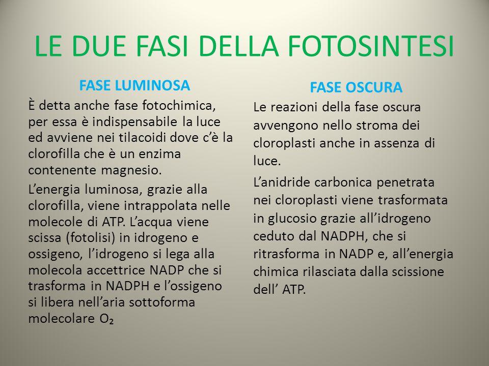 LE DUE FASI DELLA FOTOSINTESI FASE LUMINOSA È detta anche fase fotochimica, per essa è indispensabile la luce ed avviene nei tilacoidi dove c'è la clorofilla che è un enzima contenente magnesio.