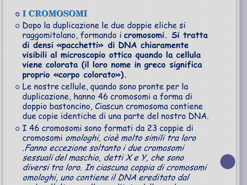 I CROMOSOMI Dopo la duplicazione le due doppie eliche si raggomitolano, formando i cromosomi. Si tratta di densi «pacchetti» di DNA chiaramente visibi