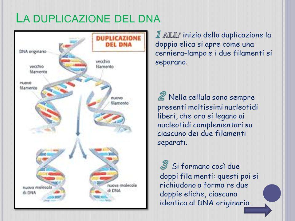 L A DUPLICAZIONE DEL DNA