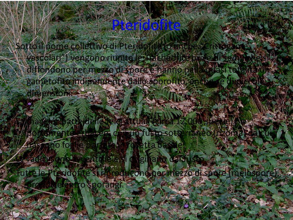 """Pteridofite Sotto il nome collettivo di Pteridofite (o anche """"Crittogame vascolari"""") vengono riunite le Tracheofite prive di semi, che si diffondono p"""