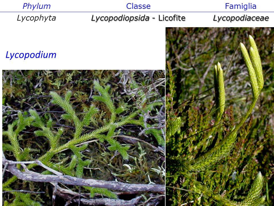 Isoëtes PhylumClasseFamiglia Lycophyta Lycopodiopsida - Licofite Lycopodiaceae Lycopodium