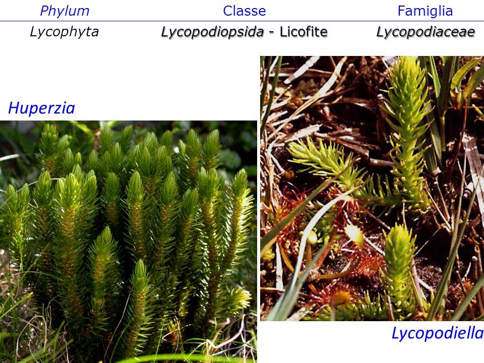 Isoëtes PhylumClasseFamiglia Lycophyta Lycopodiopsida - Licofite Lycopodiaceae Lycopodiella Huperzia