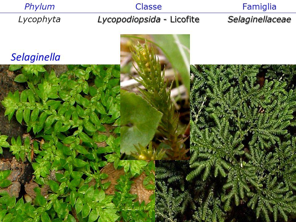 PhylumClasseFamiglia Lycophyta Lycopodiopsida - Licofite Selaginellaceae Selaginella